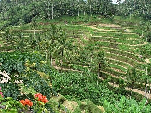 Rice Terrace in Ubud