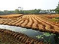 Rice field (23639738115).jpg