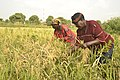 Rice processing in South East Nigeria3.jpg