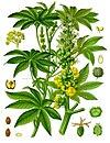 Ricinus communis - Köhler–s Medizinal-Pflanzen-257.jpg