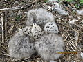 Ring-billed Gull Chicks (6104432906).jpg