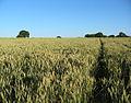 Ripening wheat, near Brook House - geograph.org.uk - 202806.jpg