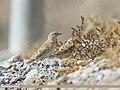 Rock Sparrow (Petronia petronia) (32735768878).jpg