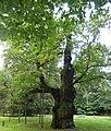Rogalin, Dąb Lech - fotopolska.eu (244114).jpg