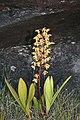 Roraima Eriopsis biloba1.JPG