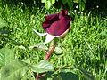 Rosa 'Black Queen' M. Tantau, J. bud RPO.jpg