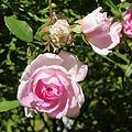 Rosa Champney's Pink Cluster.jpg