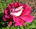 Rosa Flaming Peace 2.jpg