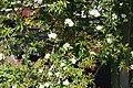 Rosa banksiae 3zz.jpg