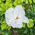 Rosa rugosa 'Blanc Double de Coubert' in Jardin des 5 sens (1).jpg
