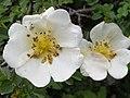 Rosa spinosissima inflorescence (10).jpg