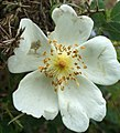 Rosa spinosissima inflorescence (38).jpg