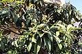 Rosales - Eriobotrya japonica - 1.jpg