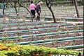 Rose Bed in Shilin Residence Park 士林官邸公園玫瑰花圃 - panoramio.jpg