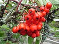 Rowan berries - geograph.org.uk - 234071.jpg