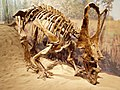 Royal Tyrell Chasmosaurus russelli.jpg
