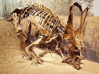 Chasmosaurus - C. russelli, Royal Tyrrell Museum