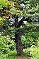 Rozdil Pinus Strobus.jpg