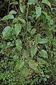 Rubus cissoides kz8.jpg