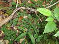 Rubus repens 03756.jpg