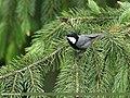 Rufous-naped Tit (Periparus rufonuchalis) (47484622372).jpg