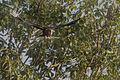 Rufous-necked Hornbill in Flight Mahananda WLS India 06.12.2015.jpg