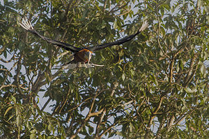 Rufous-necked hornbill - An adult in flight Mahananda Wildlife Sanctuary in West Bengal.