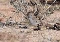 Rufous-winged Sparrow (33162938933).jpg