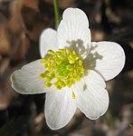 Ruhland, Grenzstr. 3, Weißes Buschwindröschen im Garten, Blüte, Frühling, 02.jpg