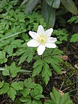 Ruhland, Grenzstr. 3, Weißes Buschwindröschen im Garten, blühende Pflanze, Frühling, 05.jpg