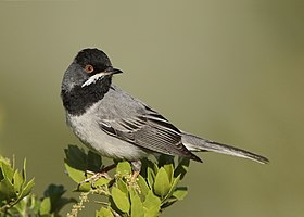 Ruppell's warbler - derivative.jpg