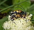 Rutpela maculata mating (38805976605).jpg