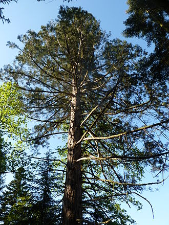 Arboretum de la Hutte - Giant sequoia