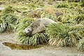 SGI-2016-South Georgia (Salisbury Plain)–Southern elephant seal (Mirounga leonina) 01.jpg