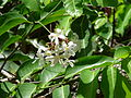 Saba senegalensis 0002.jpg