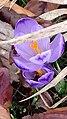 Saffron - Crocus vernus 24.jpg