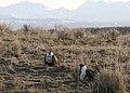 Sage grouse lek wallowas myatt (6926024491).jpg