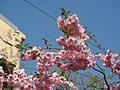Saint Petersburg. Chinese Garden. Sakura tree2021 13.jpg
