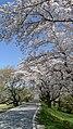 Sakura - panoramio (9).jpg
