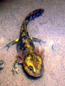Salamandra salamandra — Wikipédia