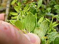Salix arbuscula Leaf lower surface.JPG