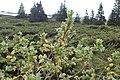 Salix lapponum kz16.jpg