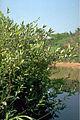 Salix x cottetii.jpg