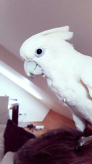 Solomons cockatoo - Image: Salomonenkakadu