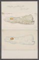 Salpa gibbosa - - Print - Iconographia Zoologica - Special Collections University of Amsterdam - UBAINV0274 092 08 0051.tif