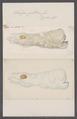 Salpa gibbosa - - Print - Iconographia Zoologica - Special Collections University of Amsterdam - UBAINV0274 092 08 0051.tif