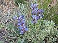 Salvia dorrii - Flickr - andrey zharkikh.jpg