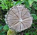 Sambucus nigra (Elder), Wood section, Lainshaw Woods, Stewarton, East Ayrshire.jpg