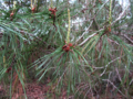 Sand-pine-catkins (8685897807).png