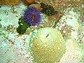 Sandy anemone at Lorry Bay PB092332.JPG